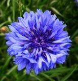 Göz altı morlukları için Mavi kantaron yağı